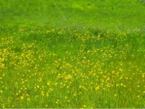 Buttercups in May